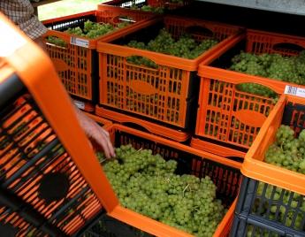 The grape harvest at Lily Farm Vineyard, east Devon, Autumn 2010
