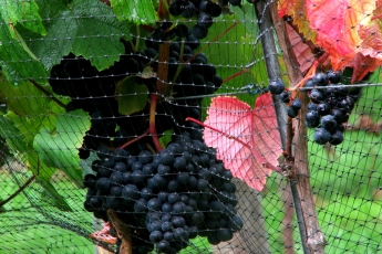 Grapes ripening, Lily Farm Vineyard, east Devon, Summer 2010
