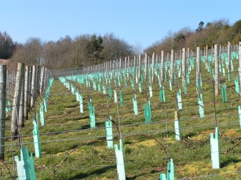 Lily Farm Vineyard - vines in winter 2010/11