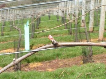 Budburst on the vines at Lily Farm Vineyard, east Devon