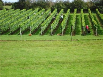 Lily Farm Vineyard, east Devon - vines ready to harvest