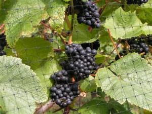 2012 Vineyard Harvest at Lily Farm
