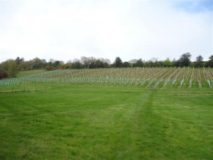 600 new vines planted at Lily Farm Vineyard
